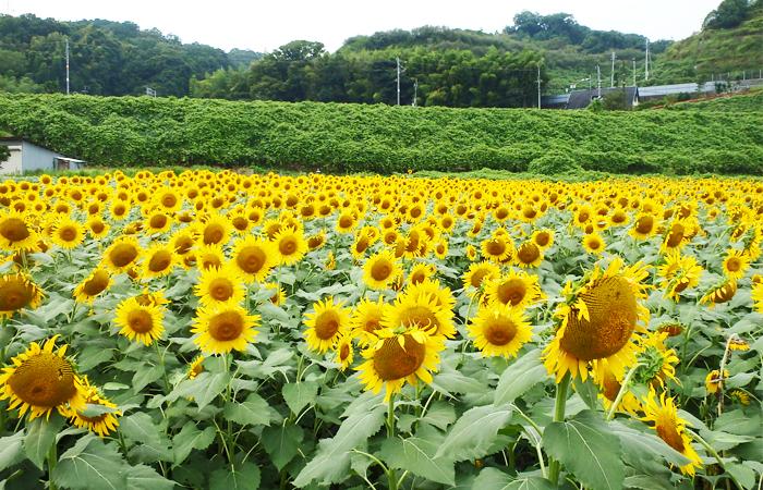 約9万本のヒマワリが咲き誇る、圧巻の景色!