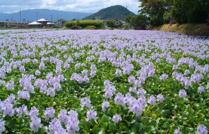 開時は迫力満点!約40万株ものホテイアオイが咲き誇り、色鮮やかな紫色の花の絨毯が広がります。(かしはら探訪ナビより)